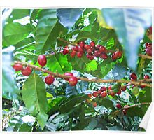 El Salvador #4 - Ripe coffee fruit beans Poster