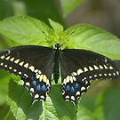 Black Swallowtail by Lisa G. Putman