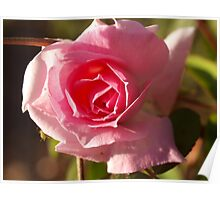 Rosa Home and Garden Poster