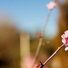 peach blossom  by dydydada