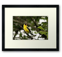 Brilliant Observer Goldfinch Framed Print