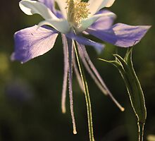 Rocky Mountain Columbine by Nikki Trexel
