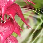 Fushia and rain drops by Ann Persse