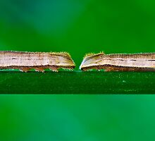 Two Big Caterpillars in a Green Nature Environment by adriancoopers