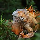 Green Iguana by Jim Cumming