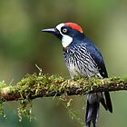 Acorn Woodpecker by Jim Cumming