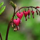 Bleeding Hearts by Debbie Oppermann
