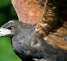 Harris Hawk by LarryGambon