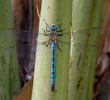Blue Emperor Dragonfly  by David Clark