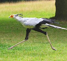 Secretary Bird by jdmphotography