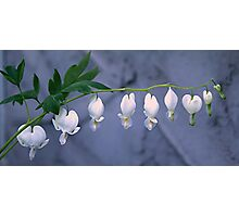 White Bleeding Heart Photographic Print