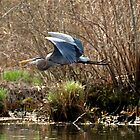 Heron in Flight by main1