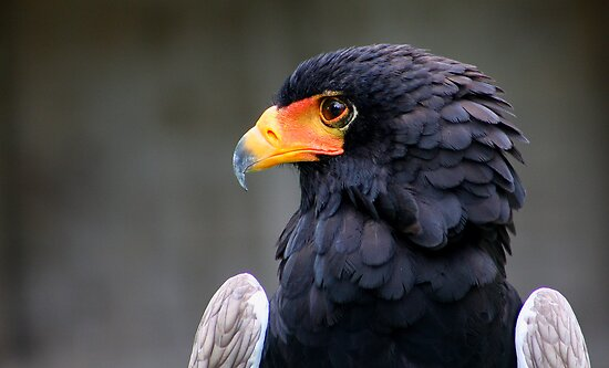 Bateleur Eagle by jdmphotography