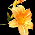 Lily by vette