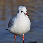 Black-headed Gull by Susie Peek