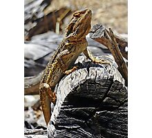 Bearded Dragon 01 Photographic Print