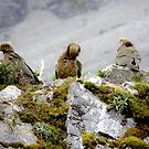 Kea's in 3 by cullodenmist