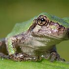 Tree Frog by main1