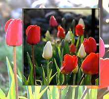 Double Tulips by back40fotos