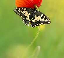 Impression with butterfly and red poppy by JBlaminsky