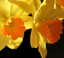 Daffy- down- dillies by picketty