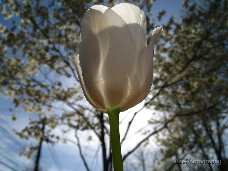 White Tulip by AcePhotography