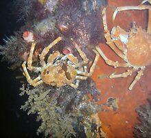 Spider Crabs by Fishbait