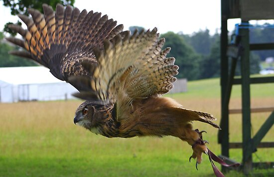 Eurasian Eagle Owl In Flight by jdmphotography