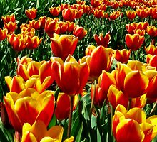 Field of Tulips by JuliaWright