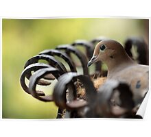Nesting Mourning Dove Poster