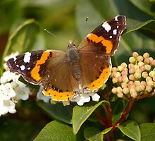 Red Admiral  by David O'Riordan
