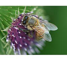 Thistle Bee Photographic Print