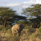 Elephant in Samburu, Kenya by digitaldawn