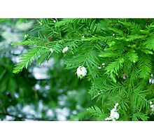 Green Spruce Tree Photographic Print
