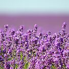 Snowshill Lavender by Stephie Butler