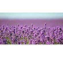 Snowshill Lavender Photographic Print