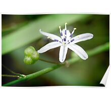 Pale Grass Lily Var. Poster