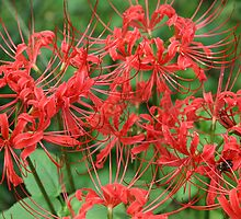 Red Spider Lilies by Patricia Montgomery