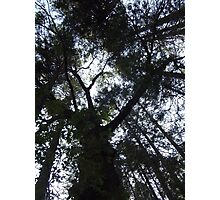 Looking Up through Trees Photographic Print