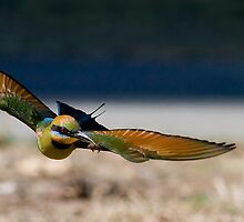 Rainbow Bee Eater with Bee by Wayne Eddy