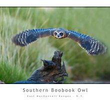 Southern Boobook Owl by Mark Rayner