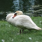 Mother Swan Takes A Nap by amyklein196203