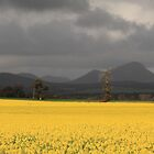 Canola Field, Stirling Ranges WA by Andrew Willesee
