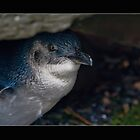 Baby Penguin by Samantha Cole-Surjan