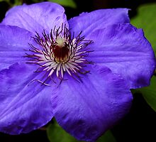 Purple Blue by DavidROMAN