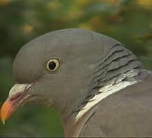 Wood pigeon by samandoliver