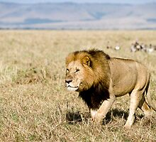 Masai Mara Lion, Kenya by FrancisDCG