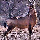 RED HARTEBEEST - Alcelaphus buselaphus by Magaret Meintjes