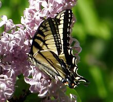 Eastern Tiger Swallowtail by Len Bomba