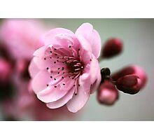 Cherry Pink Photographic Print